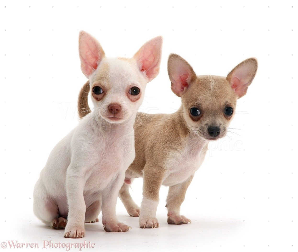 White Smooth Coat Chihuahua Puppies Chihuahua puppies