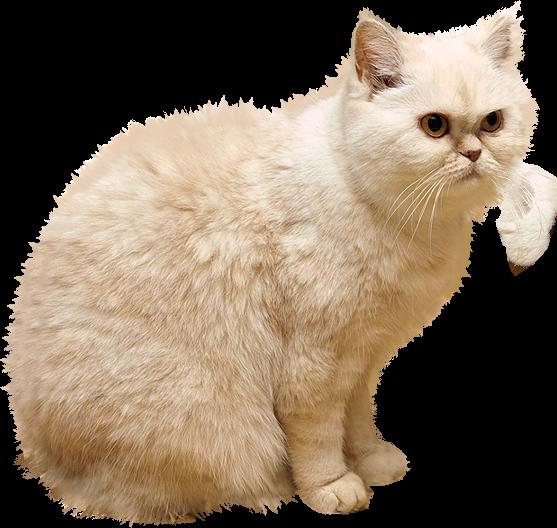 White Cat Png Picture Katt