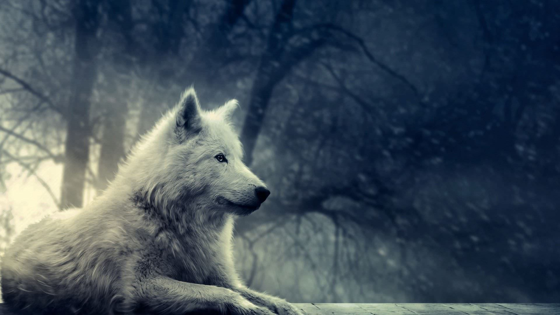 Wolf Wallpaper 1920x1080 Wolf Wallpaper Wolf Background Wolf Poster