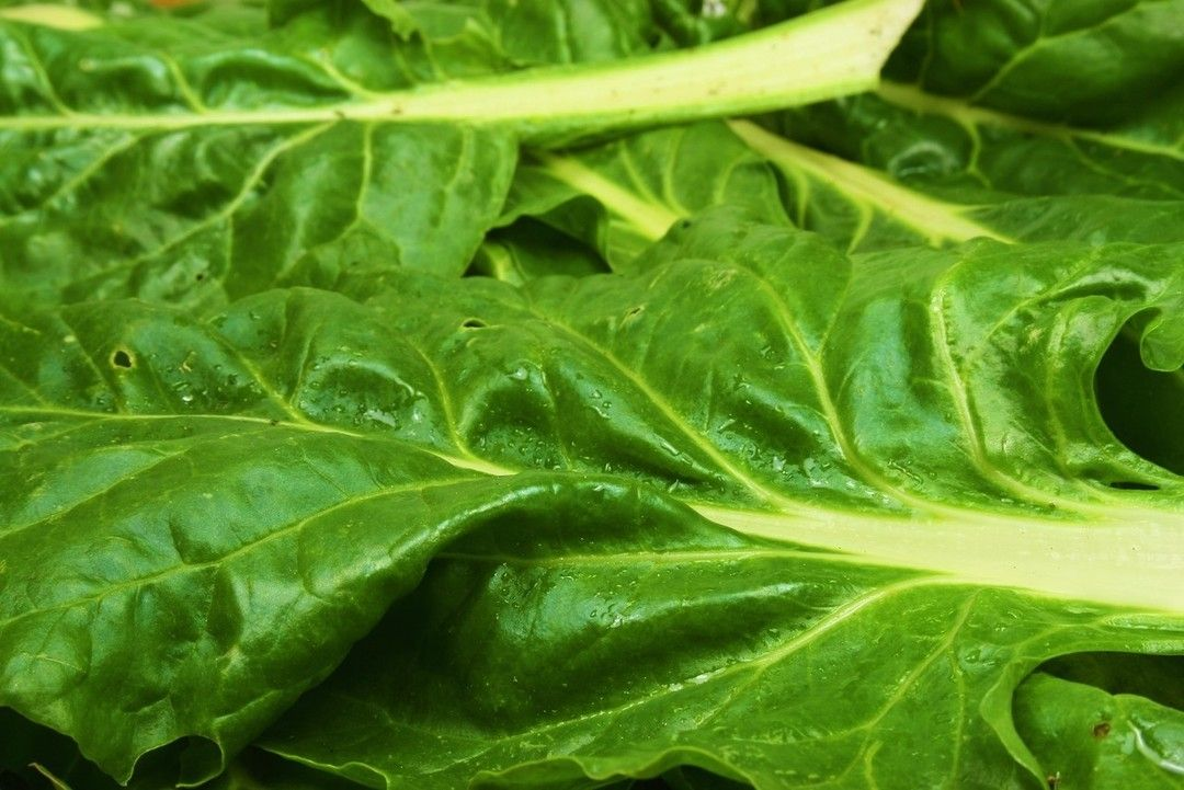Aprenda a plantar e cultivar a deliciosa acelga que além de nutritiva é usada até mesmo para fins medicinais.    Confira!    http://bit.ly/1VsqQic
