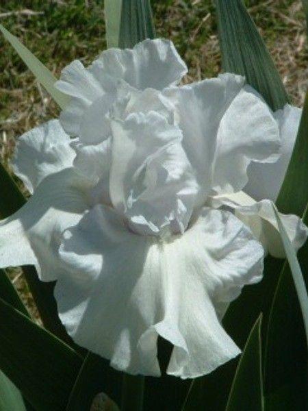 Got Milk Iris Flowers Bearded Iris Most Beautiful Flowers