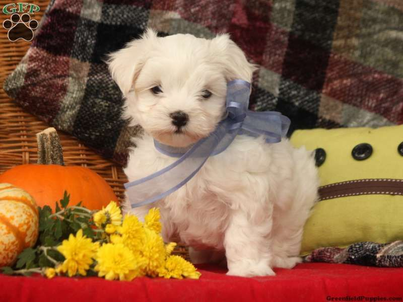 Trent Maltese Puppy For Sale In Myerstown Pa Maltese Puppies