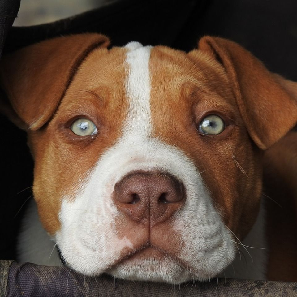 10 causes of aggression in your dog red nose pitbull