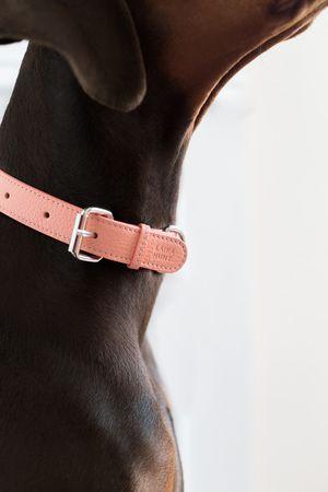Dog with pink dog collar