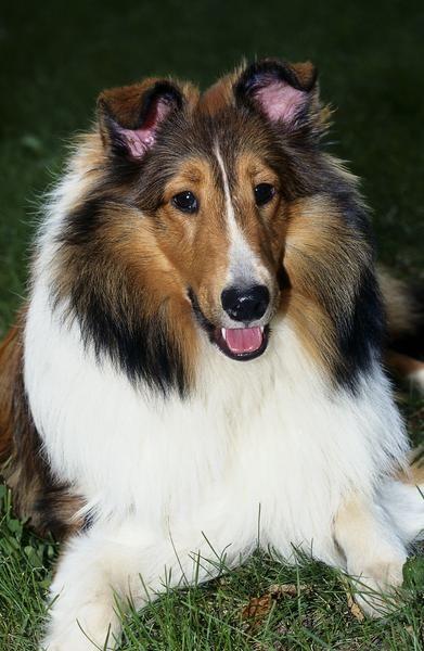 Shelties Vs Collies Best Dog Breeds Large Dog Breeds Dog Breeds
