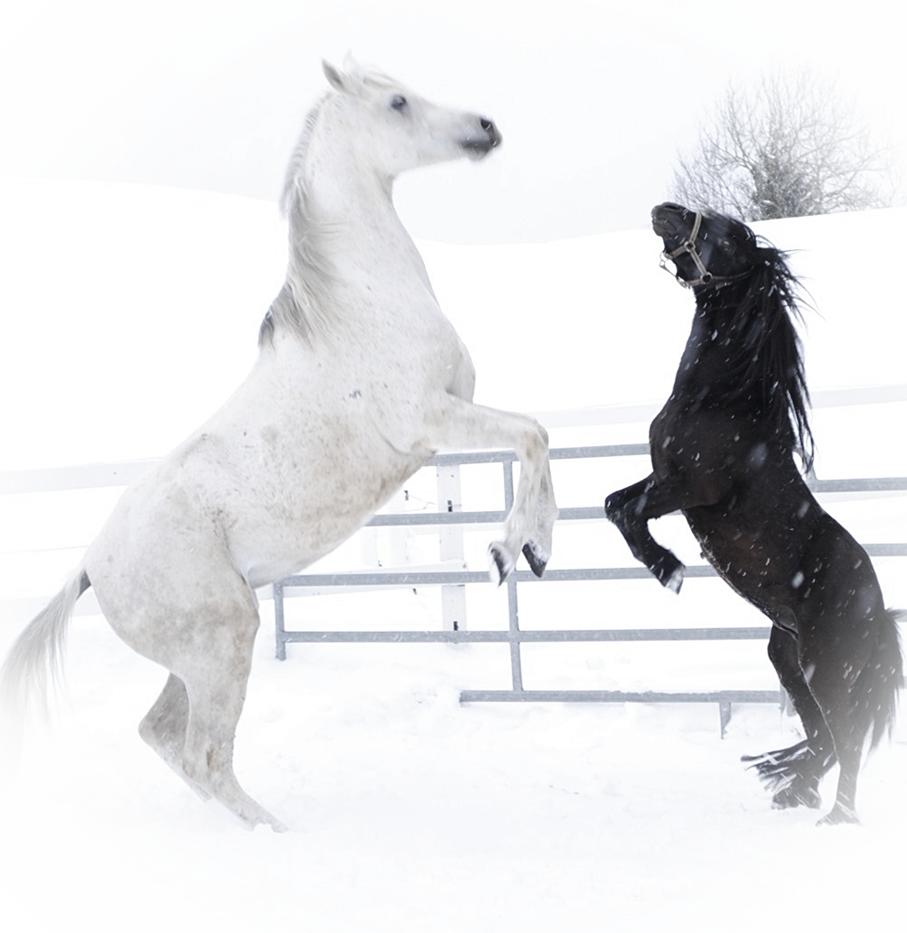 White And Vintage Steigendes Pferd Friesen Pferde Hubsche Pferde