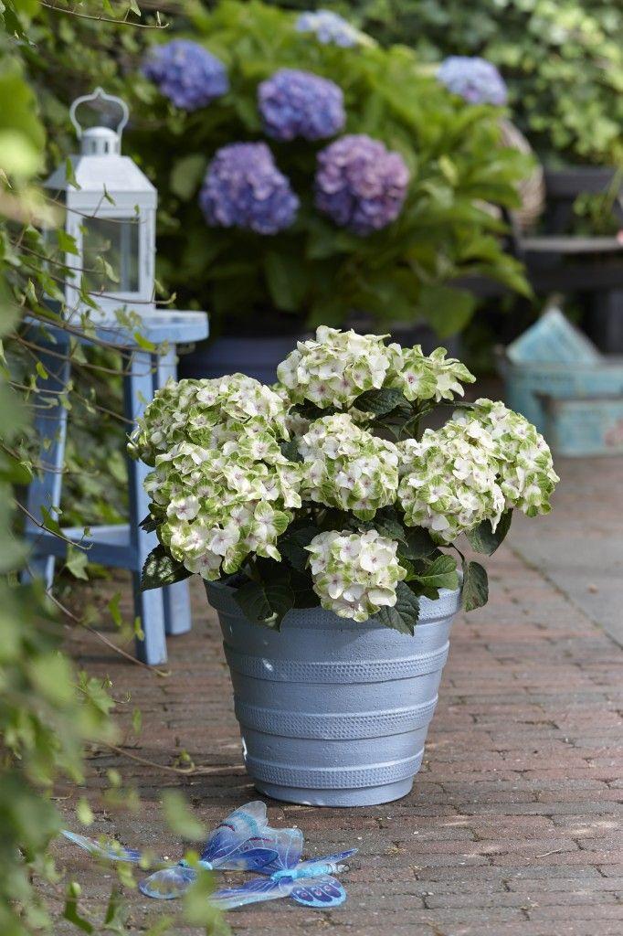 Hydrangea macrophylla \'Hokomano\' Everlasting® Noblesse PP 22696 ...