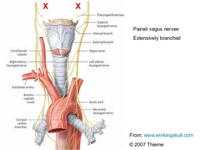 Anatomy of the vagus nerve