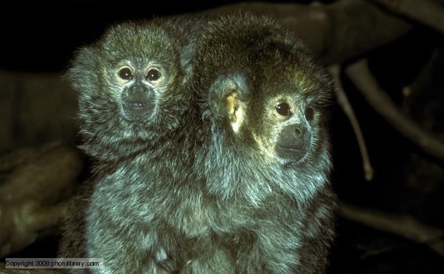 South American monkeys Amazon river, Primates, Monkey
