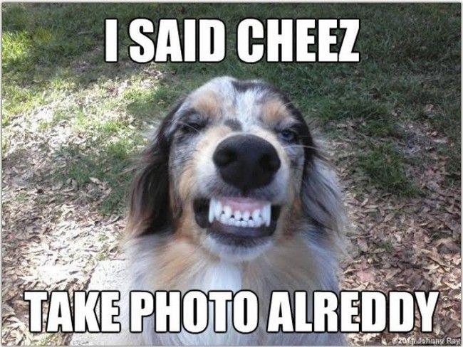 Funny Meme Smiley : Funny australian shepherd pictures google search australian