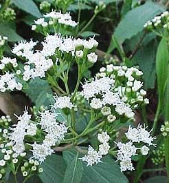 White mistflower fall gardens pinterest gardens white mistflower mightylinksfo