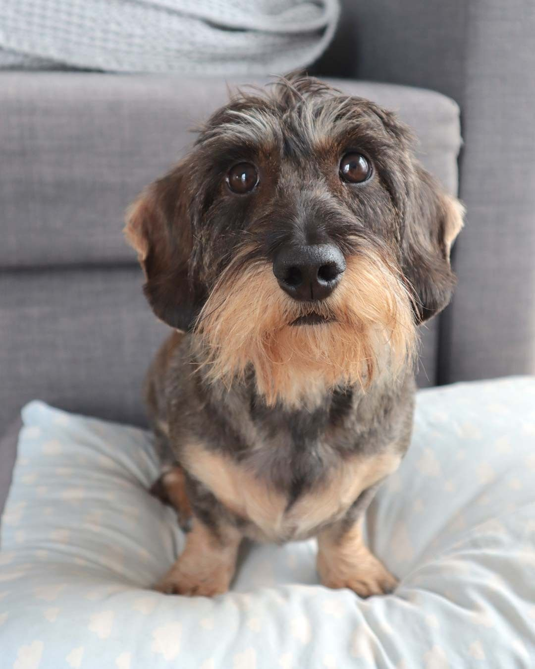 Visit Our Blog Dachshund Central Com To Find The Best Products And Accessories For Hounds And Doglovers Dac Wire Haired Dachshund Dachshund Dachshund Love