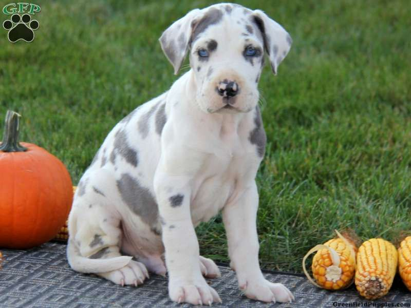 Gunther Great Dane Puppy For Sale From New Holland Pa Great