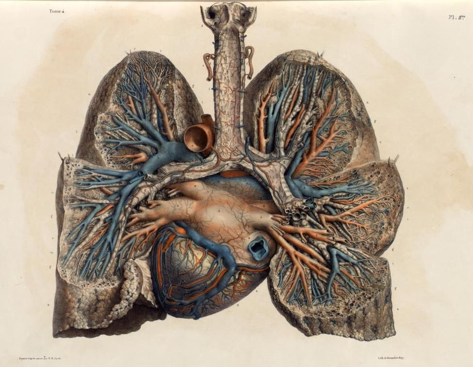 Posterior view of arteries and veins of the heart and lungs The ...