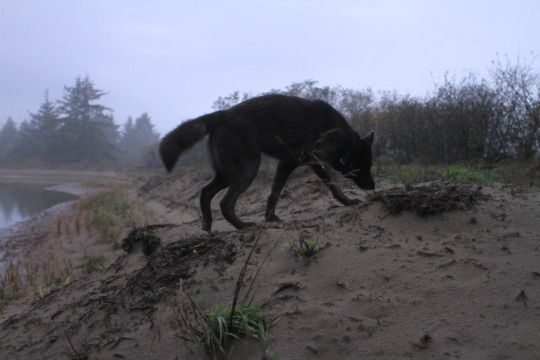 For The Wild Hearted Souls Wolf Dog State Parks Animals