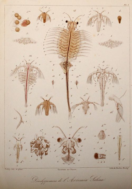 Joly Nicolas 1840 Histoire D Un Petit Crustace Artemia Salina Leach Montpellier Boehm Pl I Brine Shrimp Scientific Illustration Plant Illustration
