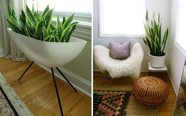 Decorar con plantas la sansevieria jardines peque os for Plantas de interior resistentes
