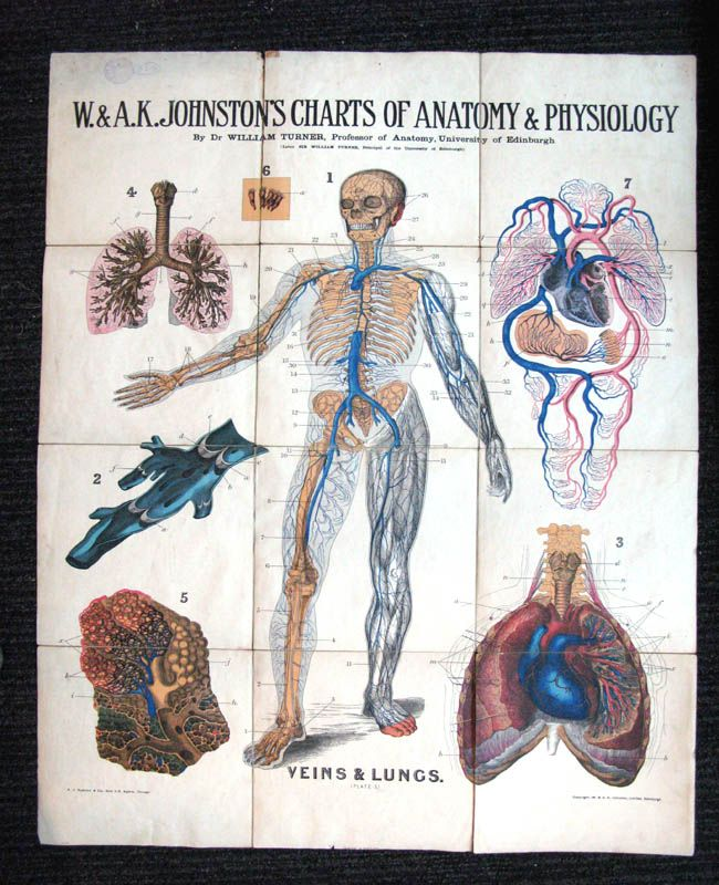 W. and A.K. Johnstons Charts of Anatomy and Physiology (Plate 5 ...