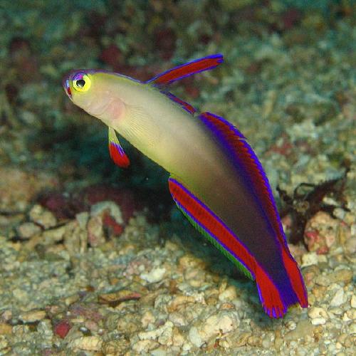 Purple Firefish Goby Saltwater Fish Tanks Marine Fish Tanks Beautiful Sea Creatures
