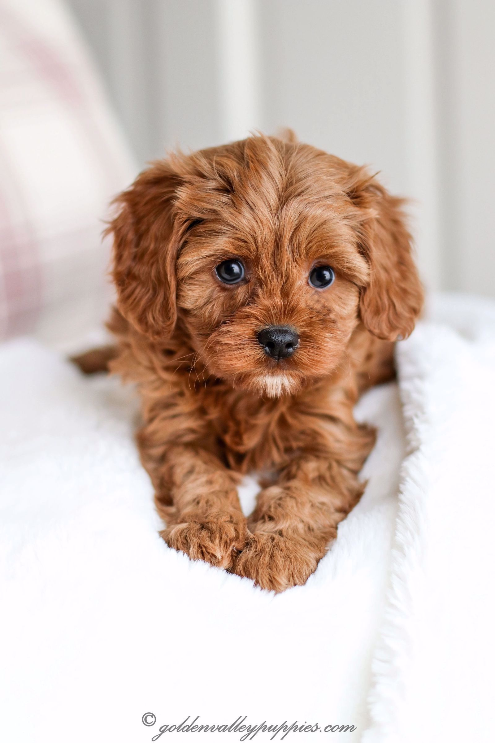 Our Puppy Album Cavapoo Puppies For Sale Golden Valley Puppies Cavapoo Puppies King Charles Cavalier Mix In 2020 Cute Puppies Cute Dogs And Puppies Cute Animals