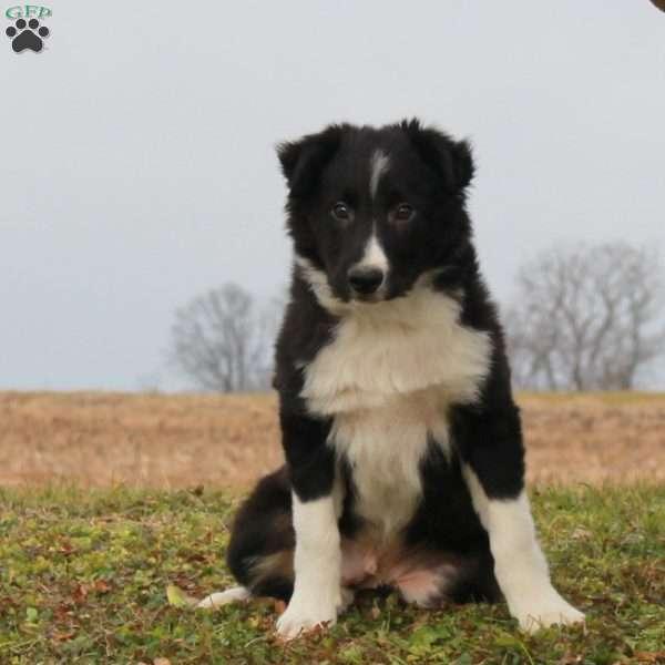 Jello Border Collie Puppy For Sale in Pennsylvania in