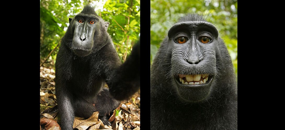 Selfie - David Slater - Macaque