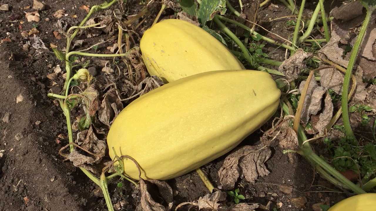 Sensational Spaghetti Squash How to grow it and cook itcook