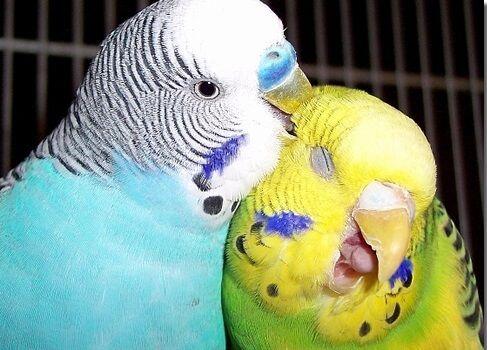 Imagenes de periquitos australianos fotos bonitas de aves pinterest periquito ave y animales - Piscina los periquitos ...