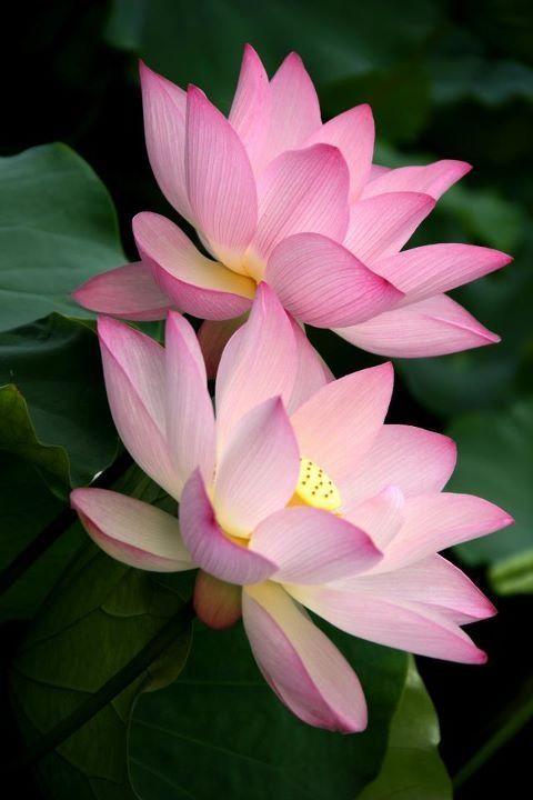 Lotus Flowers Taken In Shing Mun Valley Park Hong Kong Color