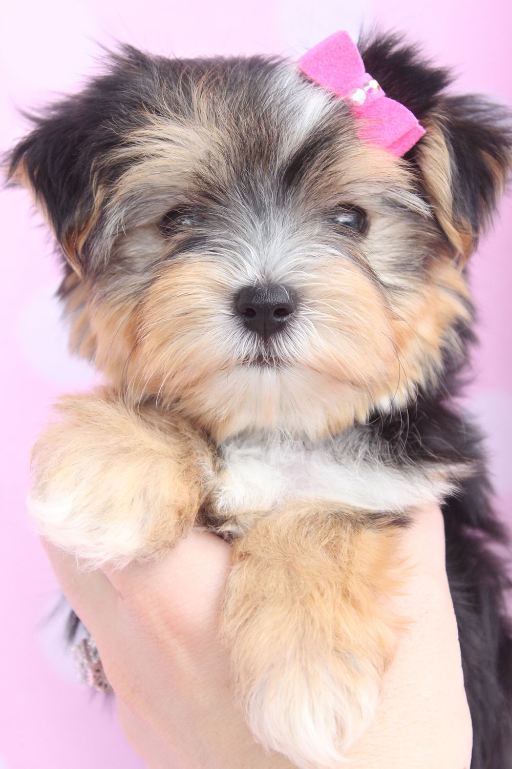 Mixed Designer Breed Puppies South Florida Morkie