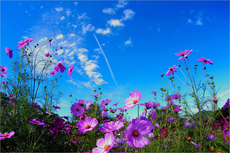 Nature Summer Field Wild Flowers Wallpaper Flower Free Download Flower Wallpaper Cosmos Plant Flower Field