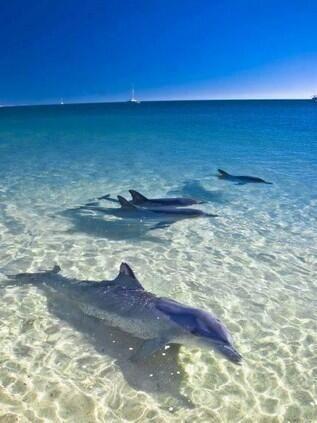 Monkey Mia - Donde delfines salvajes acuden para ser alimentados