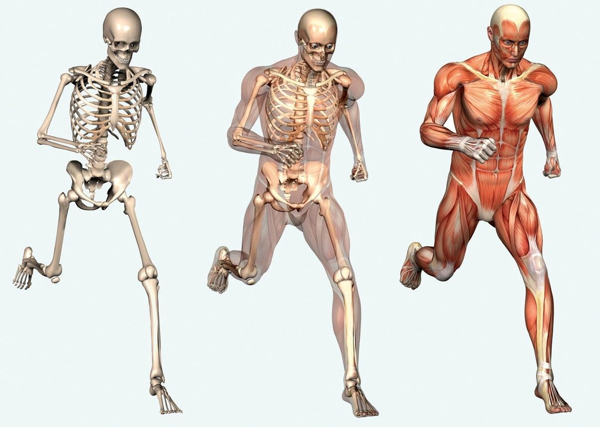 Muscular System Pictures For Kids
