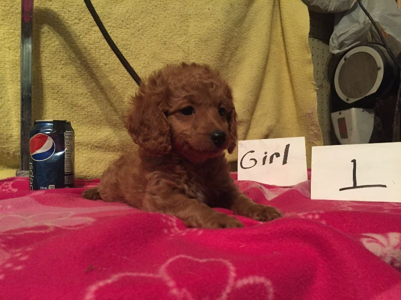 Two Puppies Left Small Miniature Poodle Terrier Mix For Sale For