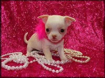 1 accessory. Tea Cup Chihuahua. Can lit take it anywhere