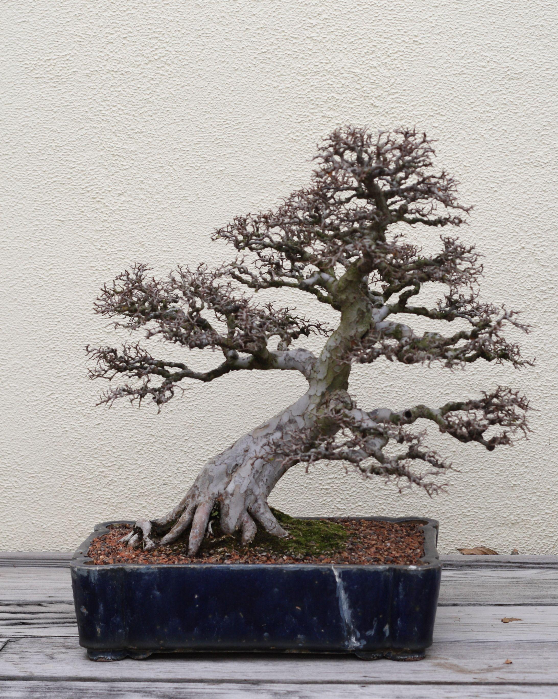 A Chinese Elm Ulmus parvifolia bonsai Chinese