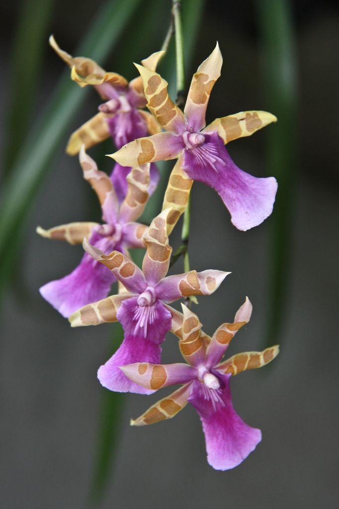 Miltonia clowesii - Flickr - Photo Sharing!