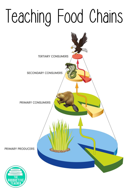 medium resolution of Food Chains