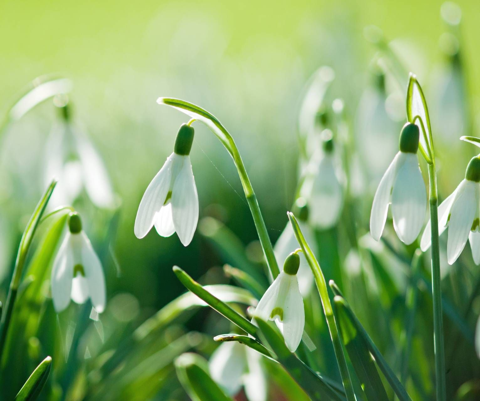 Snowdrops Cool Wallpapers For Phones Spring Wallpaper Phone Wallpaper