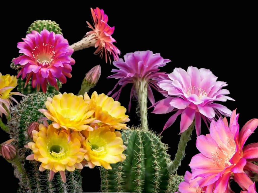 Pin On Cacti