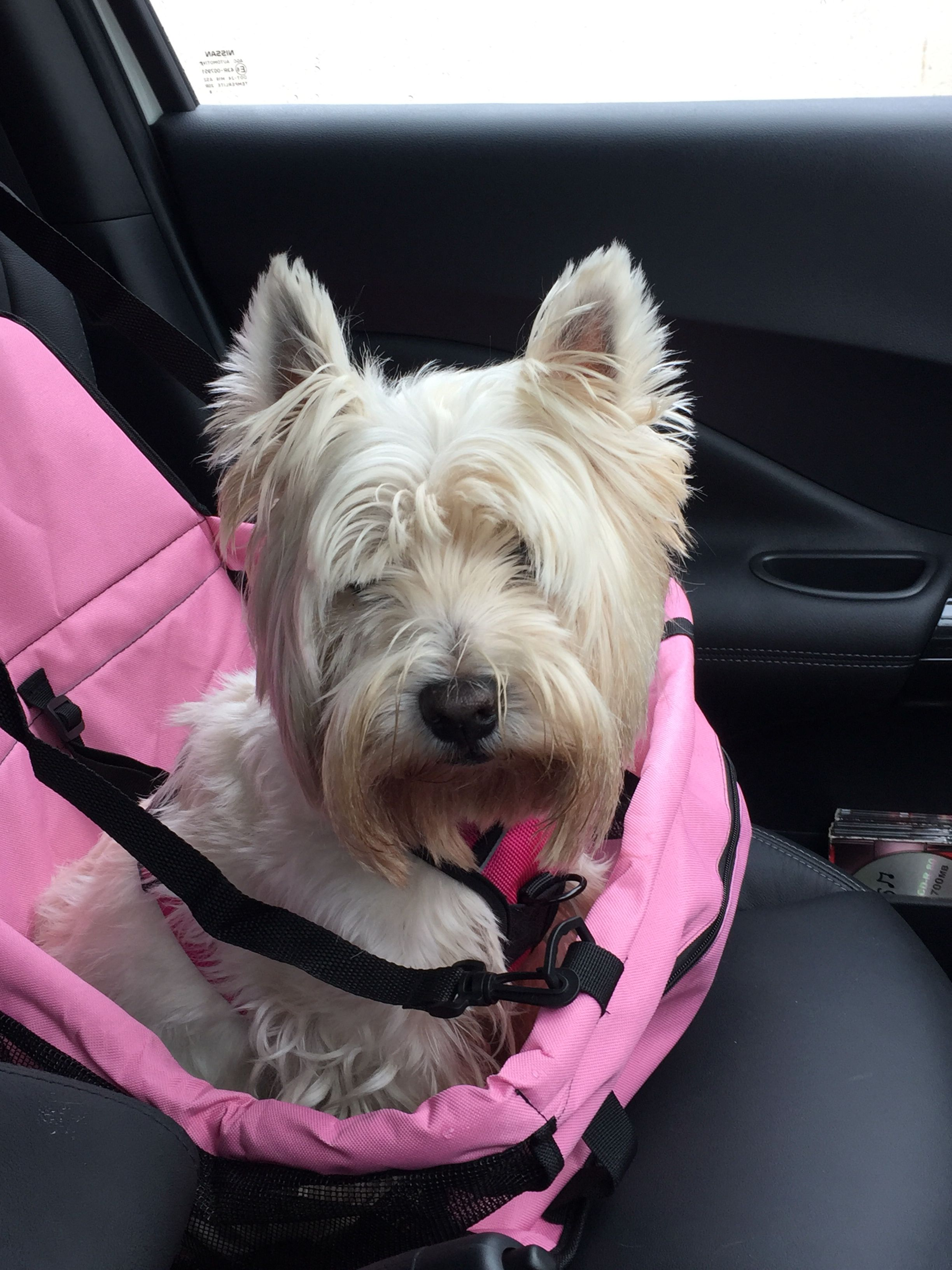 Lets go for a haircut Westies, West highland terrier