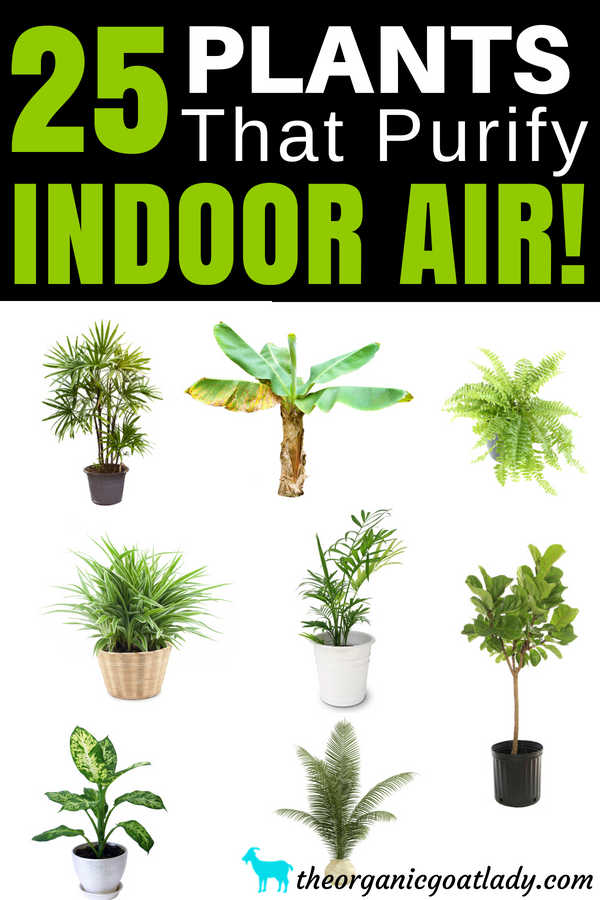 25 Air Purifying Plants The Organic Goat Lady Air Purifying Plants Houseplant Plants Best Indoor Plants