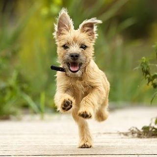 Cairn Terrier Dog Breed Information With Images Cairn Terrier