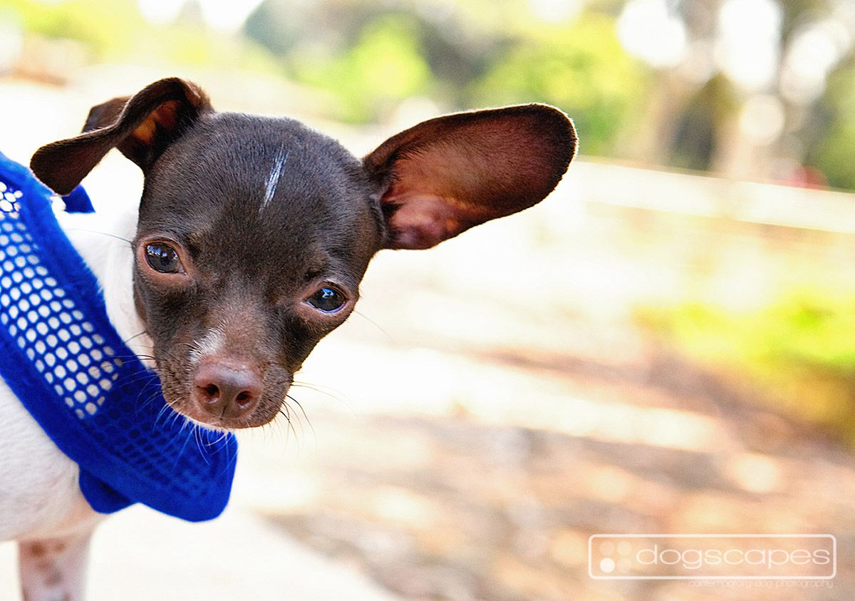 Chihuahua San Diego Dog Photography Dogscapes Com Dog