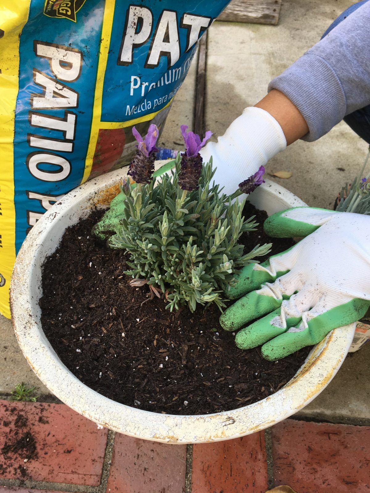 How to grow lavender in a pot growing lavender lavender