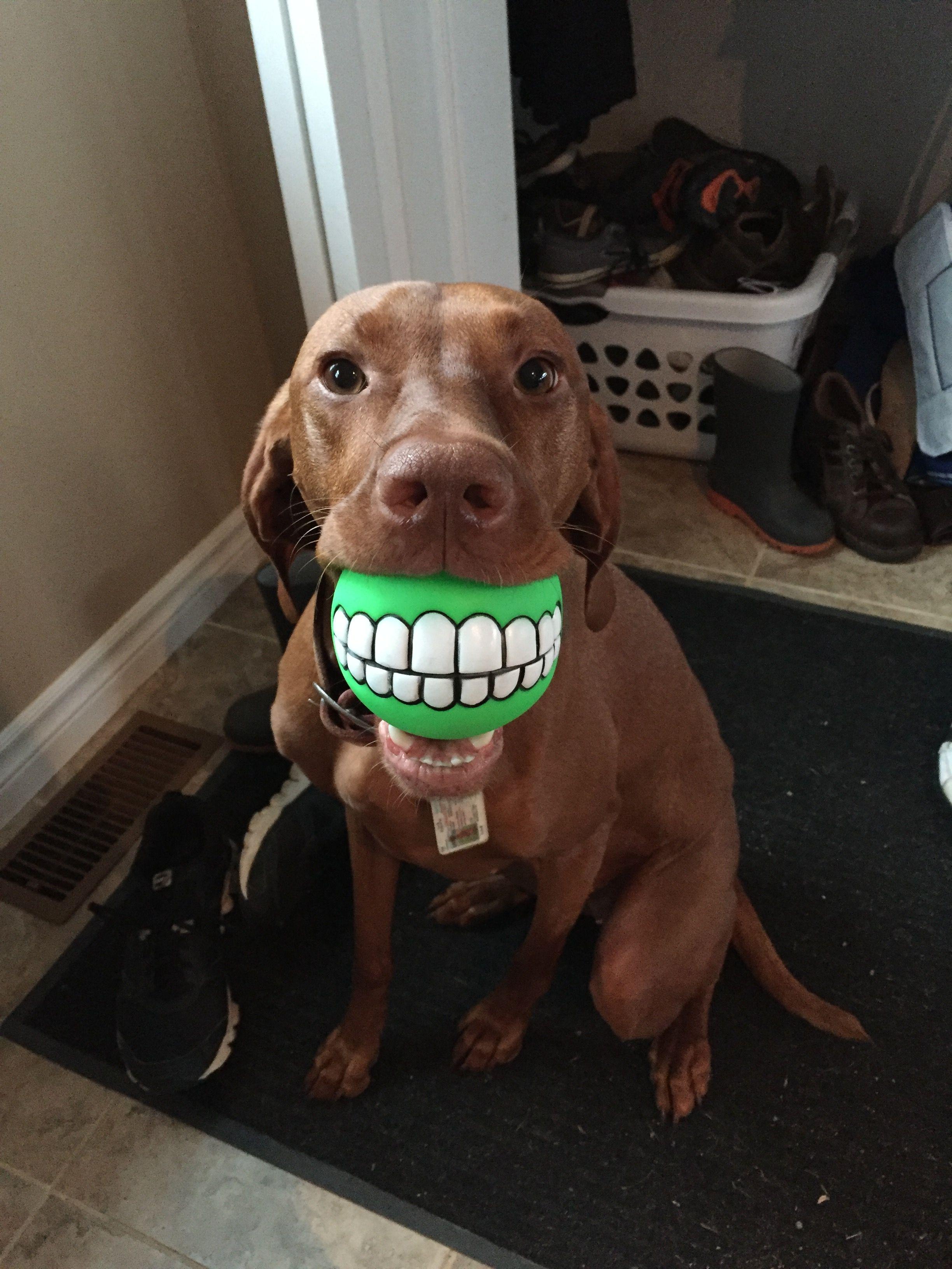 Pin by ann wenning on Viszlas Vizsla, Vizsla dogs, Cute dogs