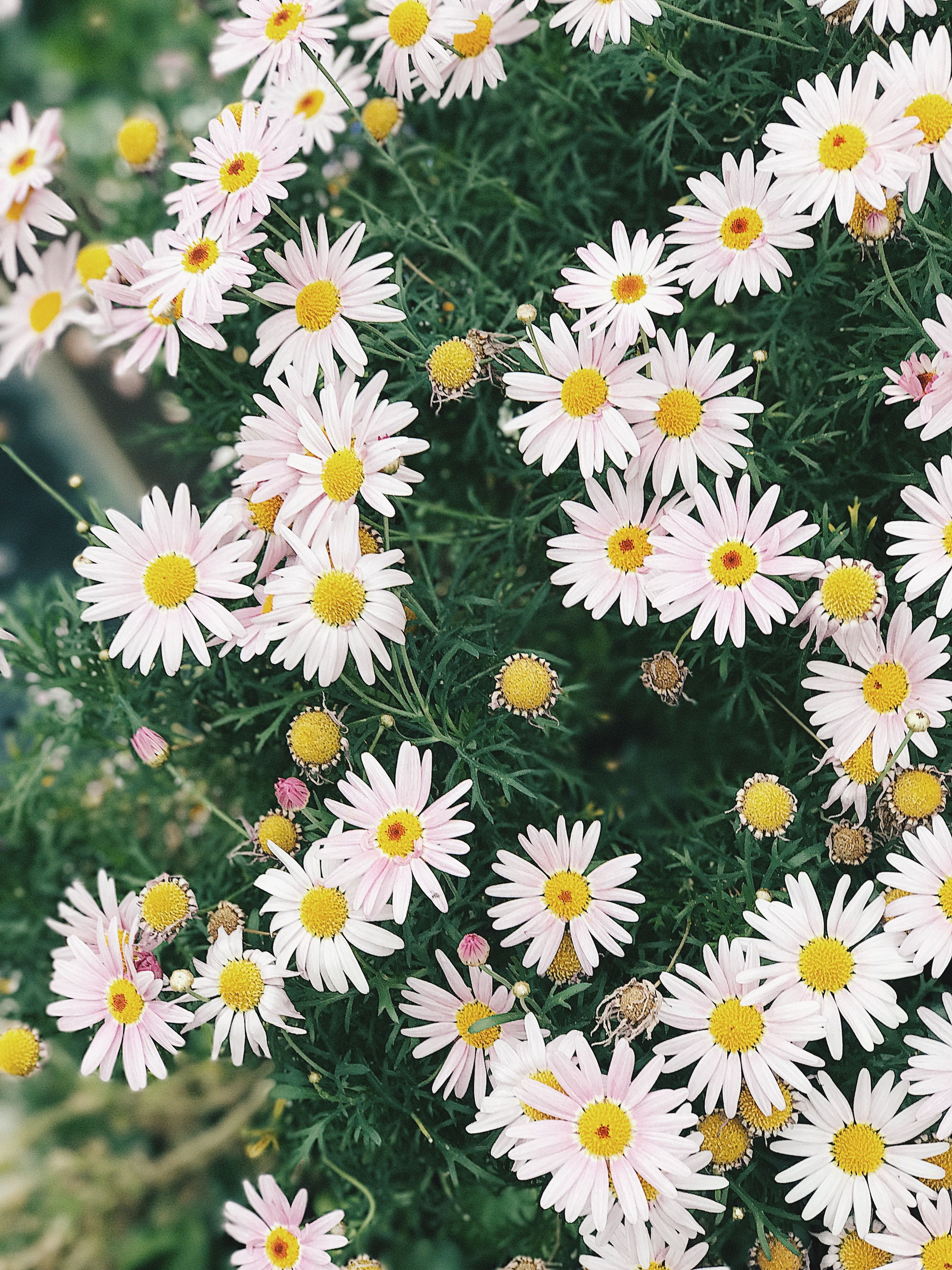 Cluster of daisies wallpaper for iPhone and Android