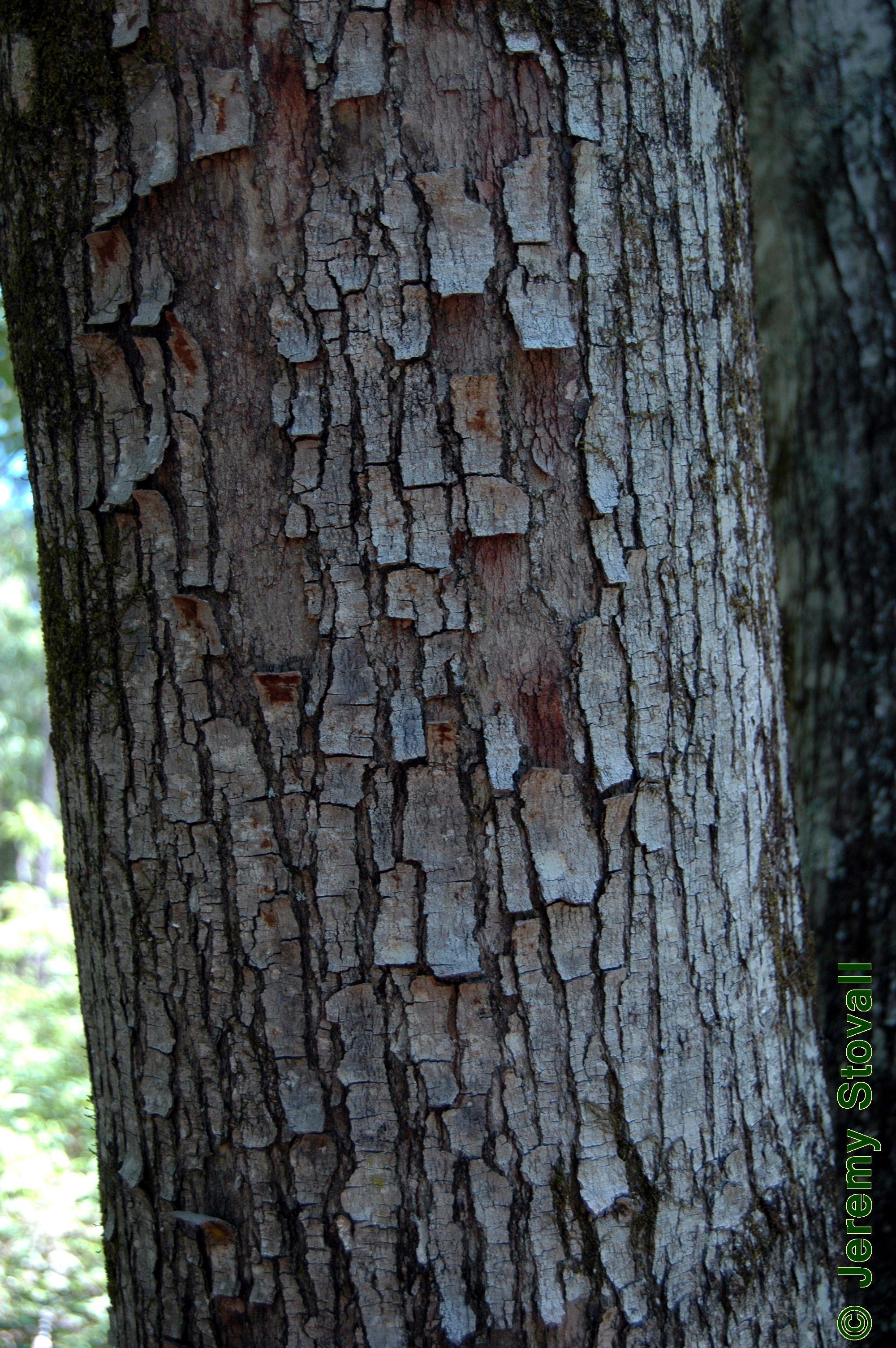maple bark Tree id, Acer rubrum, Tree identification