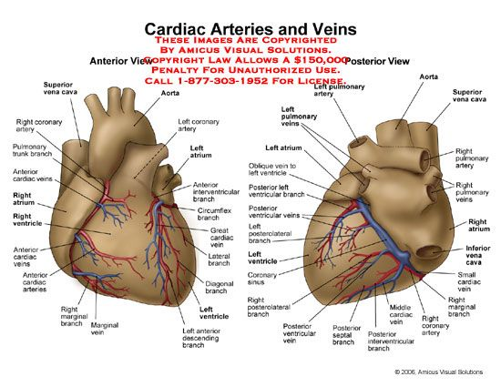 cardiac+veins+and+arteries | Anterior and posterior views of heart ...