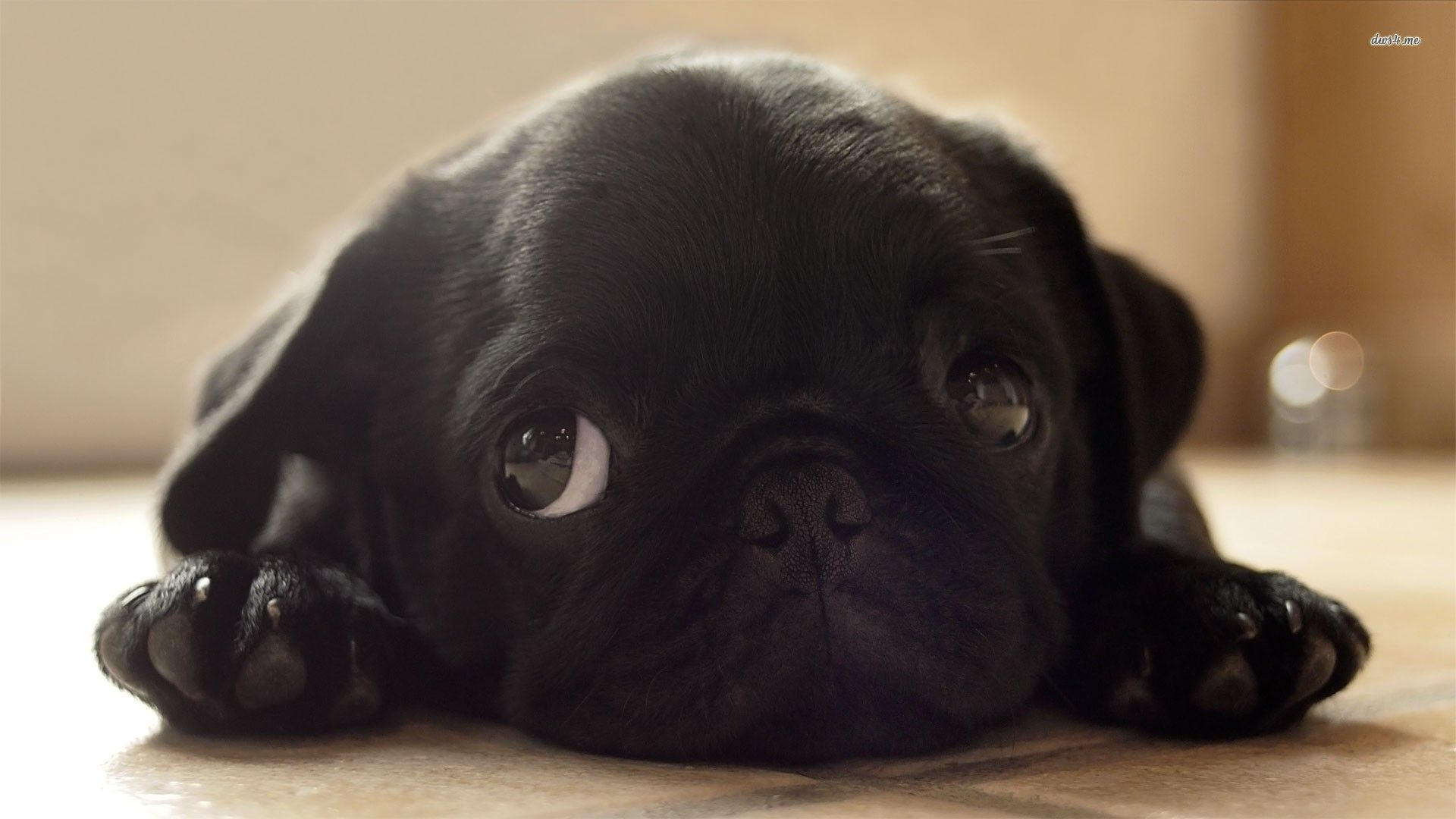 Black Pug Puppy Hd Wallpaper Black Pug Puppies Pug Dog Pictures